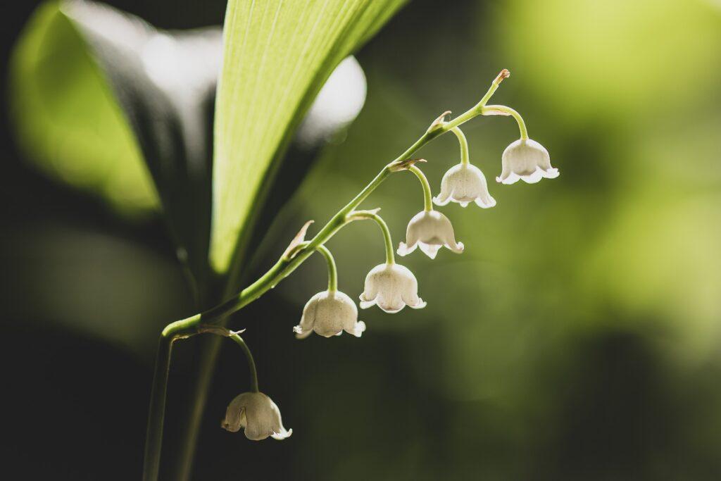 Müge Çiçeği Hangi Ayda Ekilir